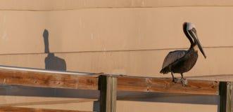Un pellicano e la sua ombra che si levano in piedi sul fance immagini stock