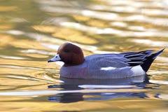 Un penelope euroasiatico adulto di Mareca del wigeon che nuota e che foraggia in uno stagno colourful fotografie stock libere da diritti