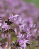 Un pequeñas rosado y púrpura colorearon la flor en un campo Imagen de archivo