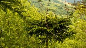 Un pequeño árbol de abeto crece en las montañas Imagenes de archivo