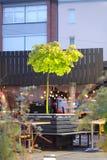 Un pequeño árbol de arce en un pote Imagenes de archivo
