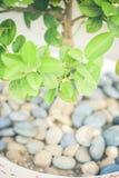 Un pequeño árbol en un pote de rocas Imagen de archivo libre de regalías
