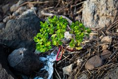 Un pequeño árbol llevado en roca imagen de archivo