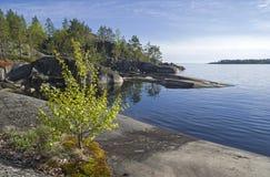 Un pequeño abedul en la orilla rocosa del lago Ladoga Imagen de archivo