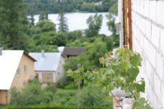 Un pequeño abedul que crece persistente en la construcción concreta de un balcon Fotografía de archivo