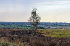 Un pequeño abedul se opone en un campo quemado al cielo Imagen de archivo