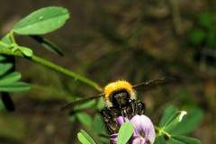 Un pequeño abejorro cogió sus patas detrás de una flor y bebió el néctar Macro imágenes de archivo libres de regalías