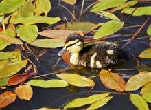 Un pequeño anadón nada en el lago entre la hierba y se va Foto de archivo