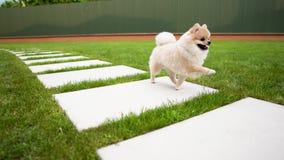 Un pequeño animal doméstico pomeranian color nata lindo es thrue corriente las tejas grandes en la hierba metrajes