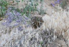 Un pequeño búho que se sienta en la tierra y come la serpiente imágenes de archivo libres de regalías