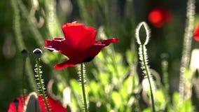 Un pequeño brote hermoso de la flor roja de la amapola se sacude en el viento metrajes