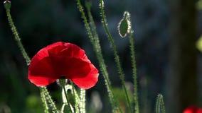 Un pequeño brote hermoso de la flor roja de la amapola se sacude en el viento almacen de video