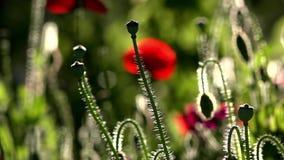Un pequeño brote hermoso de la flor roja de la amapola se sacude en el viento Campo de amapolas florecientes Amapolas floreciente almacen de metraje de vídeo