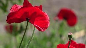 Un pequeño brote hermoso de la flor roja de la amapola se sacude en el viento Campo de amapolas florecientes Amapolas floreciente metrajes
