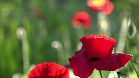 Un pequeño brote hermoso de la flor roja de la amapola se sacude en el viento Campo de amapolas florecientes Amapolas floreciente almacen de video
