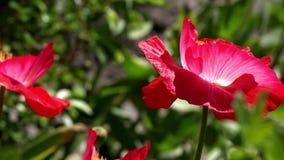Un pequeño brote hermoso de la flor roja de la amapola se sacude en el viento Amapola e insecto metrajes