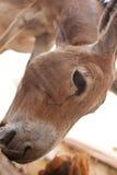 Un pequeño burro fotos de archivo