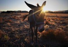 Un pequeño burro en la puesta del sol imagen de archivo