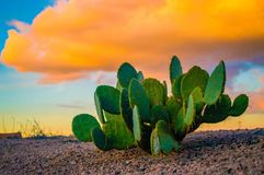 Un pequeño cactus verde debajo de las nubes de oro fotografía de archivo libre de regalías