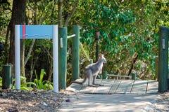 Un pequeño canguro o ualabi se mantiene aparte y mira en la nación fotos de archivo libres de regalías