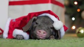 Un pequeño cerdo en el traje de Santa Claus miente en una Navidad y la nariz interior y divertida del Año Nuevo se mueve Símbolo