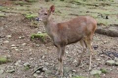 Un pequeño ciervo marrón con la piel lisa que mira fijamente embotado algo Foto de archivo