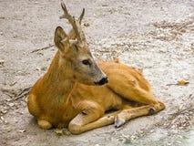 Un pequeño ciervo miente en la tierra Fotos de archivo