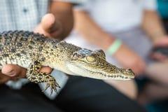 Un pequeño cocodrilo en las manos del hombre Fotos de archivo libres de regalías