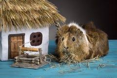 Un pequeño conejillo de Indias come la hierba imagen de archivo