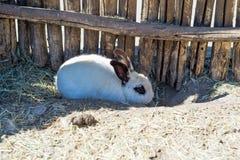 Un pequeño conejo blanco oculta debajo de una cerca de madera en una granja Fotos de archivo
