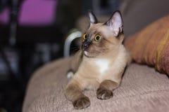 Un pequeño contacto visual de mentira masculino del gato de gato atigrado Imagenes de archivo
