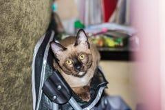 Un pequeño contacto visual de mentira masculino del gato de gato atigrado Imágenes de archivo libres de regalías