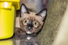 Un pequeño contacto visual de mentira masculino del gato de gato atigrado Imagen de archivo libre de regalías