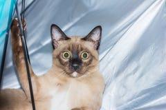 Un pequeño contacto visual de mentira masculino del gato de gato atigrado Imagen de archivo