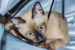 Un pequeño contacto visual de mentira masculino del gato de gato atigrado Foto de archivo libre de regalías