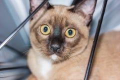Un pequeño contacto visual de mentira masculino del gato de gato atigrado Fotos de archivo libres de regalías
