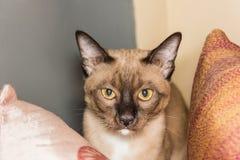 Un pequeño contacto visual de mentira masculino del gato de gato atigrado Fotografía de archivo