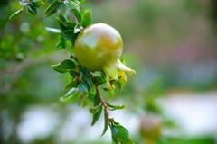Un pequeño crecimiento de fruta de la granada del color en una rama de árbol Fotografía de archivo libre de regalías