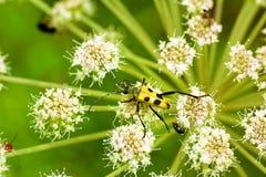 Un pequeño escarabajo amarillo. Fotografía de archivo libre de regalías