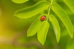 Un pequeño escarabajo que se arrastra en una flor Fotografía de archivo libre de regalías