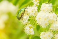 Un pequeño escarabajo que se arrastra en una flor Imagen de archivo