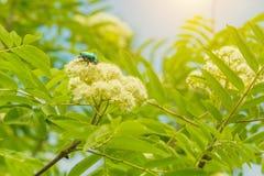 Un pequeño escarabajo que se arrastra en una flor Fotografía de archivo