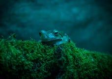 Un pequeño froggy en azul Foto de archivo libre de regalías