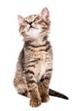 Un pequeño gatito gris que parece para arriba aislado en el fondo blanco Fotos de archivo libres de regalías