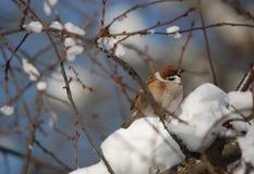 Un pequeño gorrión de la ciudad entre las ramas del invierno fotos de archivo