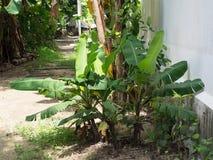 Un pequeño grupo de árboles de plátano que la gente tailandesa los crece en thei Fotografía de archivo