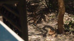Un pequeño grupo de dos animales del Nasua en el bosque está cavando la tierra Marzo, tulum, México 4K almacen de metraje de vídeo