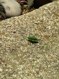 Un pequeño insecto verde del saltamontes se sienta detrás mitad-dado vuelta en una piedra El saltamontes femenino tiene un sable  fotos de archivo