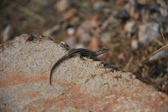 Un pequeño lagarto imagen de archivo libre de regalías