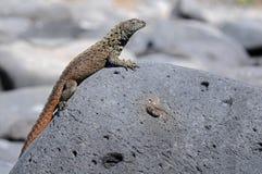 Un pequeño lagarto de las Islas Gal3apagos está tomando el baño del sol Fotografía de archivo